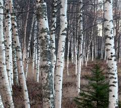 Mesteacanul---copacul-sanatatii-tale