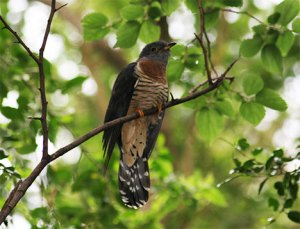 cuckoo-bird-photo1