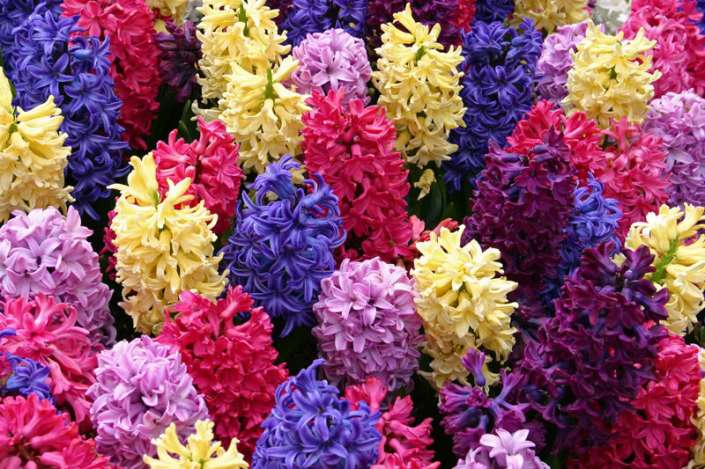 HyacinthMedley